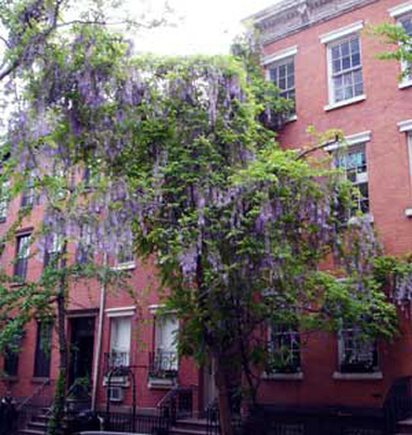 Wisteria on W 4th Street
